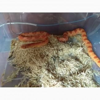 Продам змею маисовый полоз
