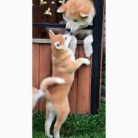 Очаровательные щенки акита ину