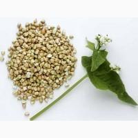 Продам семена гречихи сорт Девятка; Дикуль, 1-я репродукция