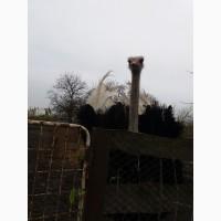 Прожам страуса