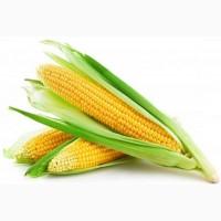 Закупаю кукурузу. с хозяйств и элеваторов. оплата любой формой