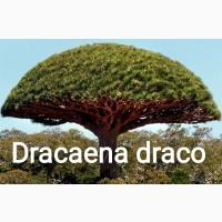 Семена драконового дерева