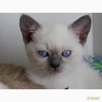 Очаровательные тайские котята ищут семью