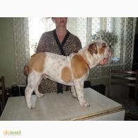 Продам подрощенного щенка английского бульдога