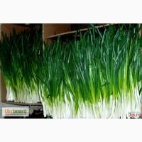 Продам лук зеленый ПЕРО, 40 см, Харьковская обл