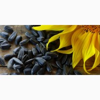 Продам насіння соняшника Сингента, Лімагрейн, Піонер, Євраліс, Солар, Агроспецпроект