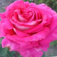 Саджанці троянд з відкритою кореневою системою, щеплені на шипшині, дворічки