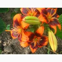 Ирисы, лилейники, клематиты, лилии и другие