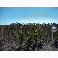 Семена гибрида подсолнечника АС 33103 КЛ - простой, среднепоздний гибрид под евролайтинг