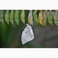Бабочкарий, ферма бабочек, набор коконов