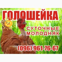 Цыплята Испанка Голошейка 15.06.2019