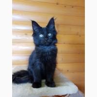 Черный Мейн-Кун, шикарный котёнок с интересным характером