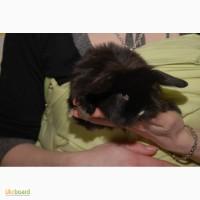Декоративный кролик породы вислоухий баранчик