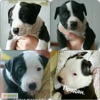 Продам щенка американского стаффордширского терьера