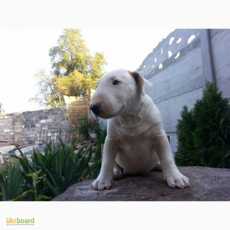 Продаётся щенок стандартного бультерьера