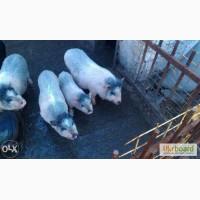 Продам корейских травоядных свиноматок