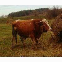 Заготовка ВРХ (бики корови телиці телята коні)