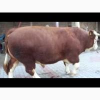 Купуємо ВРХ (бики, корови, телиці, телята, коні.)