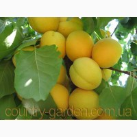 Продам 2-х летние саженцы Абрикоса и много других растений (опт от 1000 грн)
