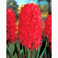 Продам саженцы Гиацинта и много других растений (опт от 1000 грн)