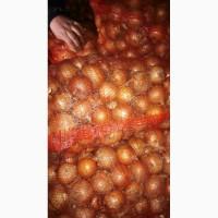 Продам лук товарный калибр 5 + в наличии 50 тонн