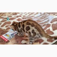 Бенгальская кошка. Продажа котят Киев