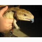 Все ящерицы собственного разведения, ручные, не агрессивные, неядовитые