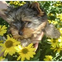 Йорки - маленькая собака с большим сердцем. Подари себе чудо