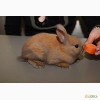 Домашній декоративний кролик продам, торчевухий кролик