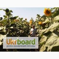 Семена подсолнечника: Ясон, Форвард, Оскол.Доставка