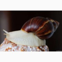 Продам Улитки achatina fulica albino (ахатина белый нефрит)