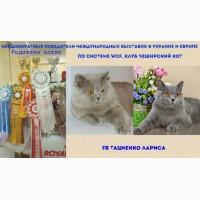 Питомник породных британских котят