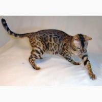 Бенгальская кошка Одесса. Бенгальские котята