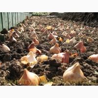 Продам луковицы Тюльпанов Ботанических и много других растений (опт от 1000 грн)