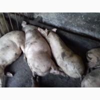 Продам ремонтні свинки вагою 100-110кг ціна 7000гр за одну