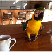 Blue and Gold Macaws for sale