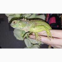 Игуана Зеленая. Ручной домашний дракон