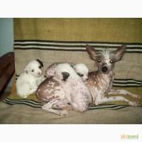 Продаю щенков Китайской Хохлатой без родословной