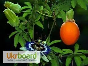 Фото 1/5. Пассифлора кавалерская звезда, или Страстоцвет (лат. Passiflora)