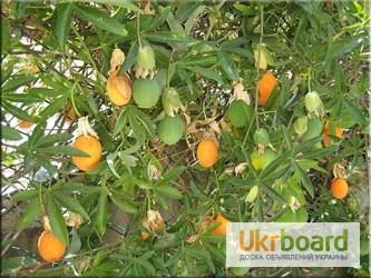 Фото 2/5. Пассифлора кавалерская звезда, или Страстоцвет (лат. Passiflora)