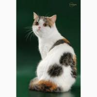 Шотландские прямоухие кошки в добрые руки