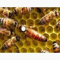 Бджоломатки Матки Карпатка Пчеломатки с доставкой