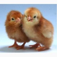Придбати курчаток породи Редбро