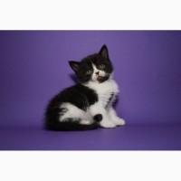 Во фраке и галстучке) Нарядный шотландский котёнок