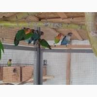 Продам попугаев нерозлучников Фишера и масковых нерозлучников