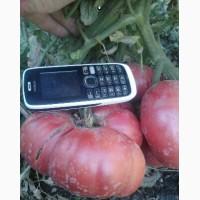 Насіння семена помідор томатов гигантов