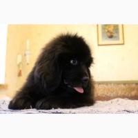 Питомник ньюфаундлендов предлагает щенка мальчика
