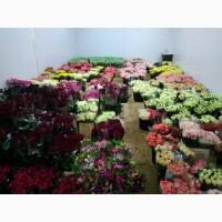 Продам оптом домашні свіжо-зрізані троянди