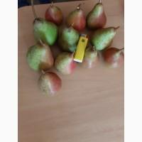 Продам грушу Осень Буковели оптом с сада