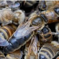 Пчеломатки плодные 2020 Carnica